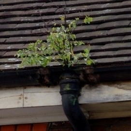 Plant Growing In Guttering